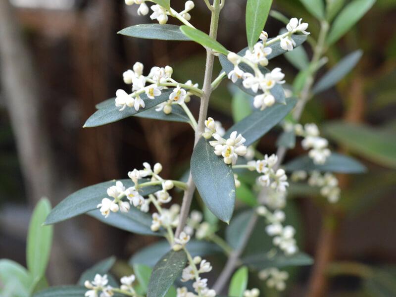 花咲くオリーブ